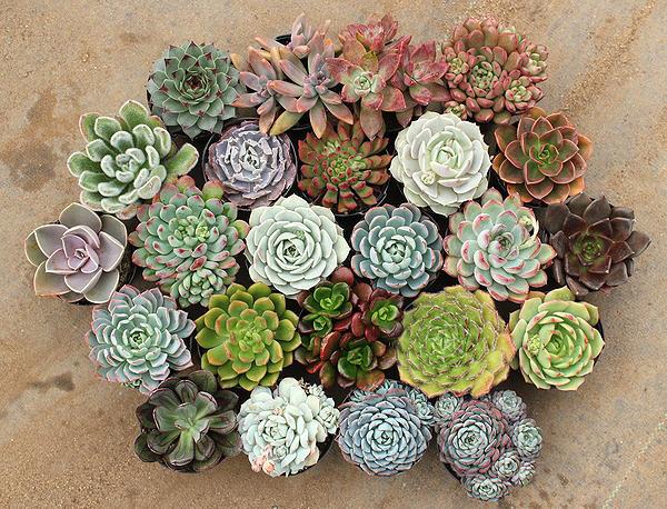 27 февраля — консультации по составлению композиций из кактусов и других суккулентов в «Аптекарском огороде»