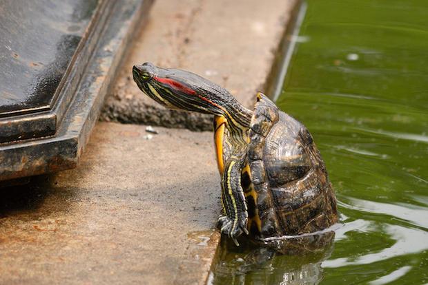 В «Аптекарском огороде» черепаха перезимовала подо льдом
