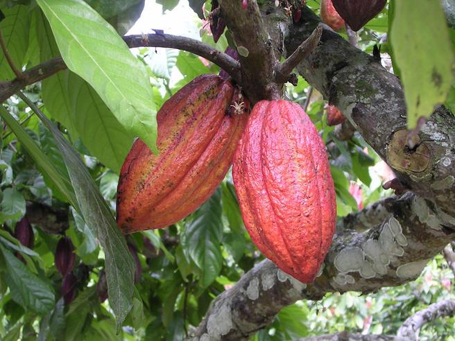 Какао разыграют к открытию Викторной оранжереи в «Аптекарском огороде»