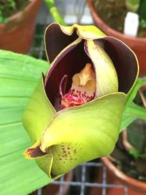 Орхидея-тюльпан Ангулоа Рукера расцвела в «Аптекарском огороде»