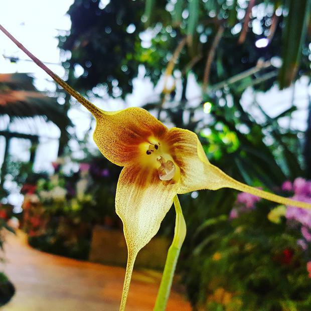 Орхидея-обезьянка, или Дракула гигантская, появилась в «Аптекарском огороде»