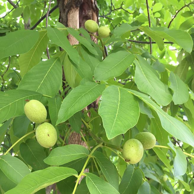 Крупный урожай грецких орехов ждут в «Аптекарском огороде»