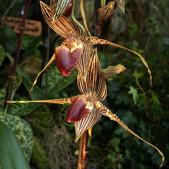 4 и 5 февраля в «Аптекарском огороде» расскажут о Дереве самоубийц и орхидеях-пчёлах