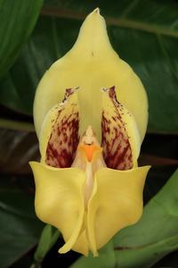 В тропиках «Аптекарского огорода» расцвела орхидея-тюльпан Ангулоа Клифтона