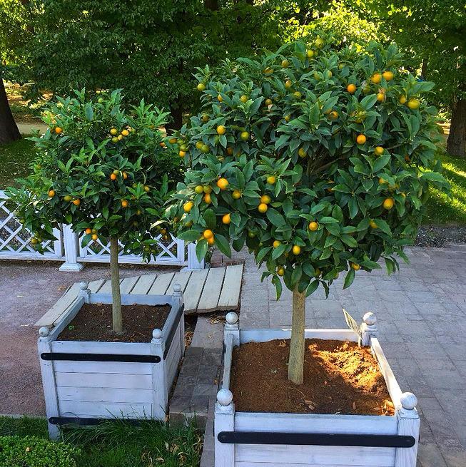6 мая лимоны, мандарины, олива и лавр в «Аптекарском огороде» переедут на свежий воздух