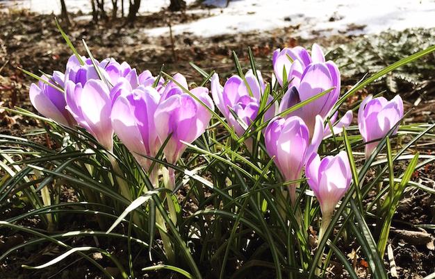 В «Аптекарском огороде» массово распускаются первоцветы