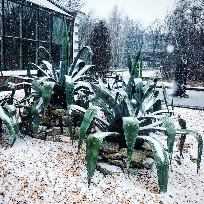 Экзотические агавы в «Аптекарском огороде» замело снегом накануне 1 апреля