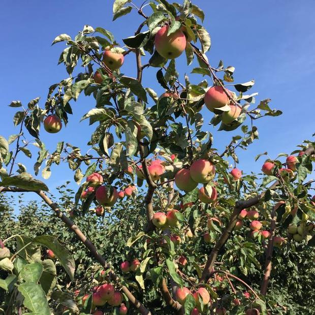 Новые сорта яблок привезут на дегустацию в «Аптекарском огороде» 19 и 20 сентября
