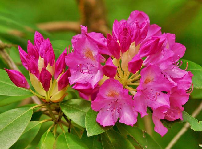 Две выставки рододендронов пройдут в «Аптекарском огороде» в мае и июне