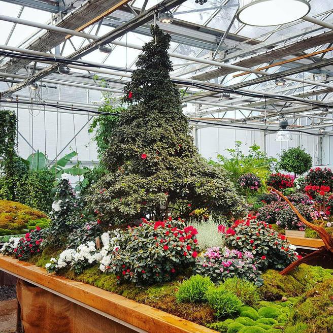 Новогодняя Азалиевая ёлка расцвела в «Аптекарском огороде»