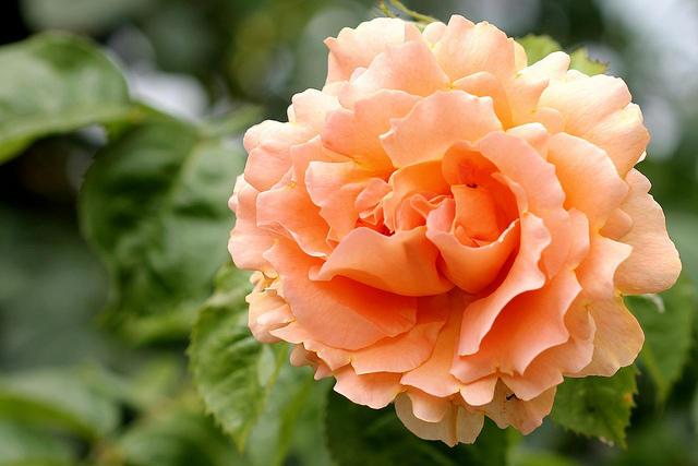 11 июля — открытие выставки роз и клематисов в «Аптекарском огороде»