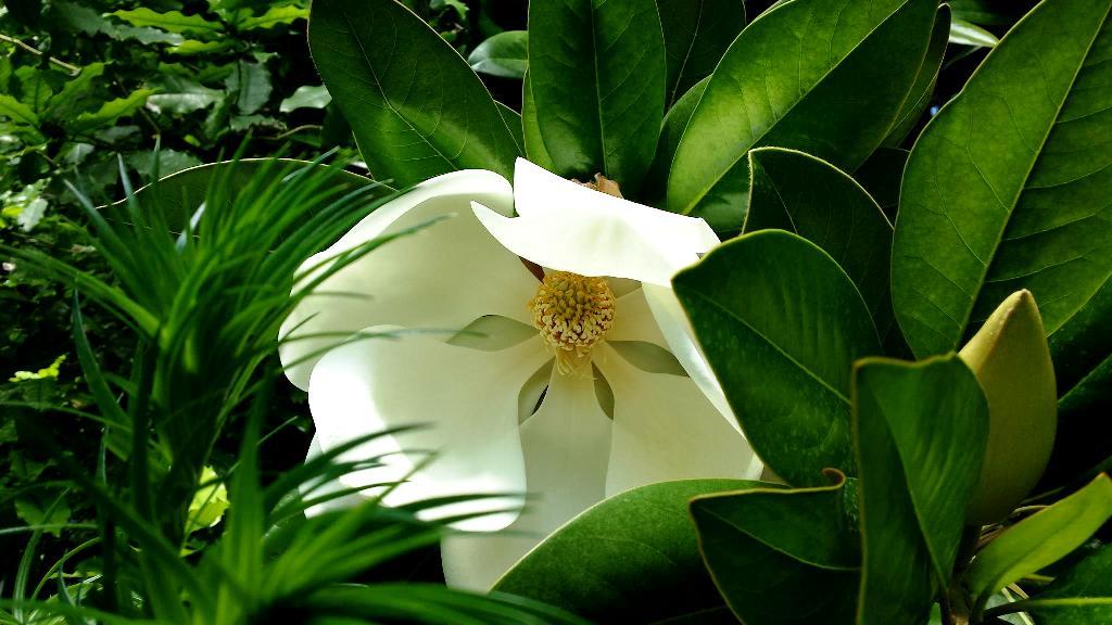 Магнолия крупноцветковая (Magnolia grandiflora)
