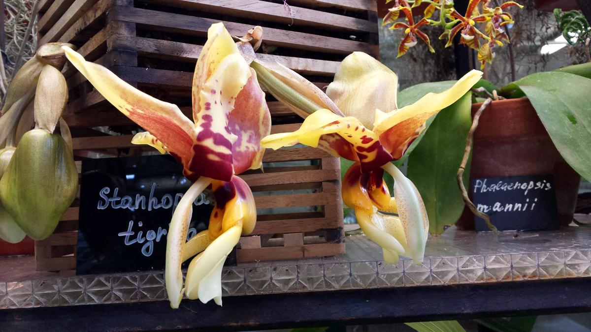 Редкая орхидея Стангопея тигровая расцвела в «Аптекарском огороде»