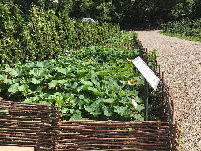 Арбузы, дыни и тыквы расцвели в «Аптекарском огороде»