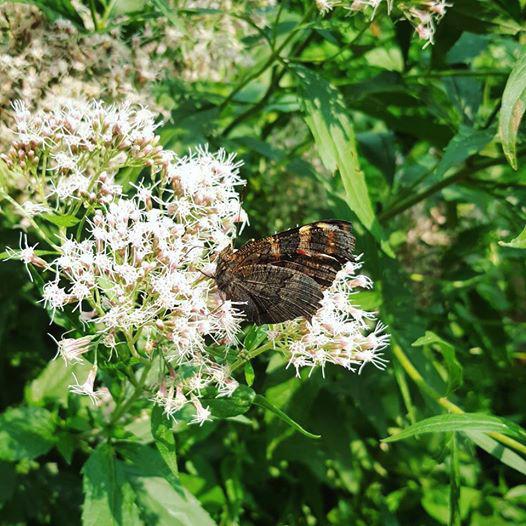 Конопля водяная цветет в «Аптекарском огороде»