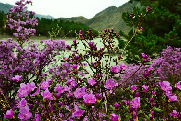 16 января в «Аптекарском огороде» расскажут о растениях Алтая и Японском саде