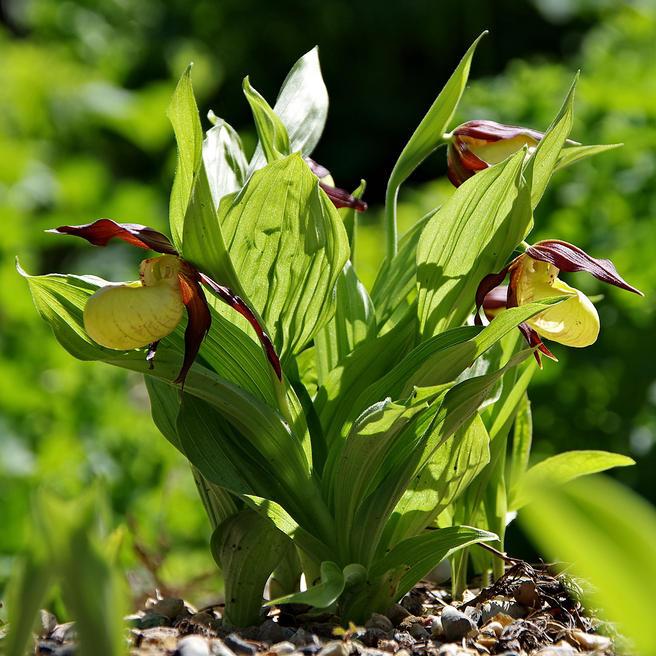 Редкие орхидеи кукушкины сапожки расцвели под открытым небом в «Аптекарском огороде» 9 мая
