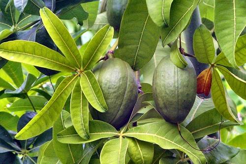 Малабарский каштан заплодоносил в тропиках «Аптекарского огорода»