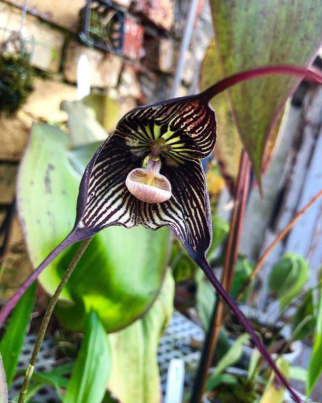 Орхидея-вампир расцвела в «Аптекарском огороде»